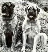 bredwadine mastiffs