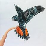Flying - Black Cockatoo