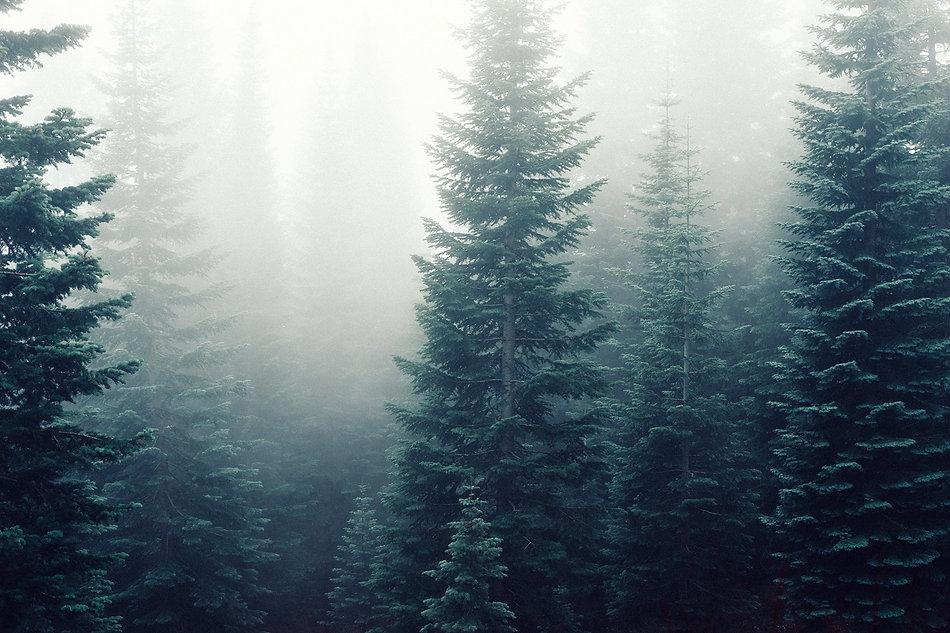firs-fog-foggy-5049 (1).jpg
