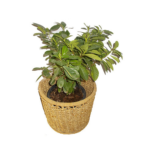 Plant & Basket