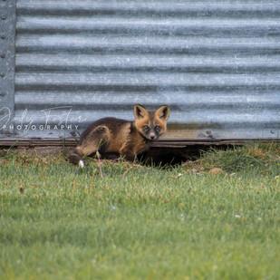 Fox Kit at Silos