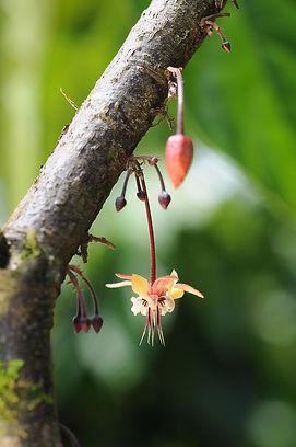 Cacao_Flor 2.jpeg