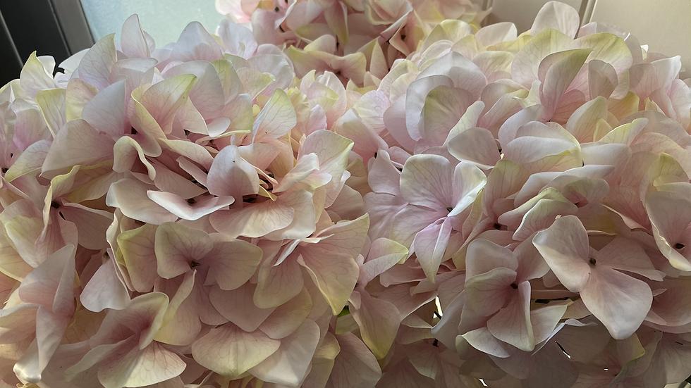 Giant Blush Pink Hydrangea Stem