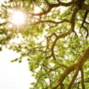 water oak branches sun shining