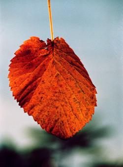 Late Autumn Veins
