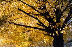 Autumn Shade.