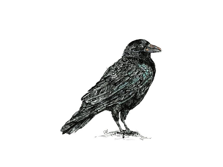 crow-raven-birds-downlodable Art prints-