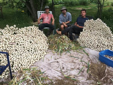 Garlic Harvesting Locally