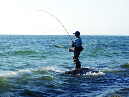 Fly Rod Striped Bass Catch & Release Tournament