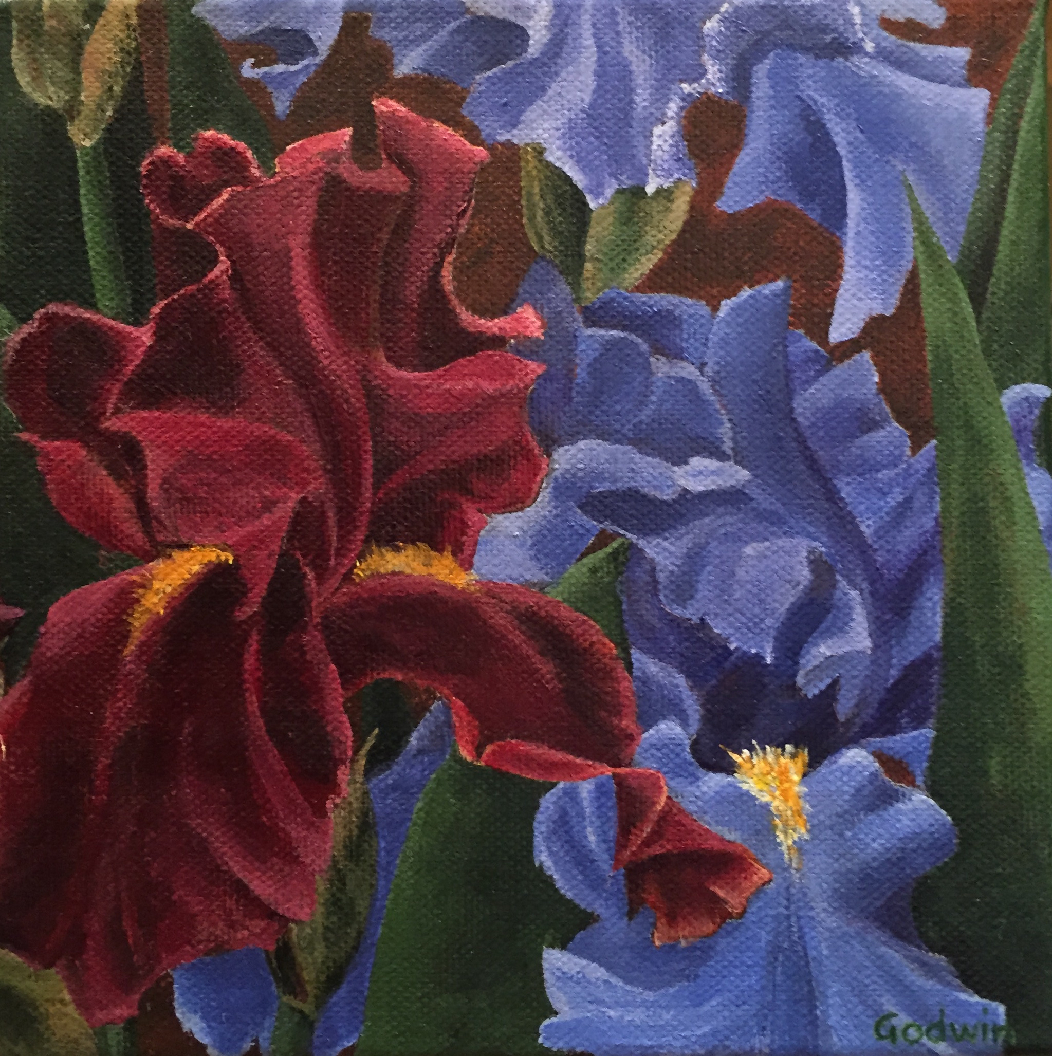 Flower Studies-Jayhawk Irises