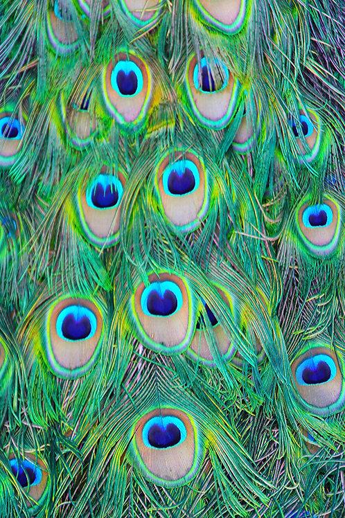 Peacock Tail / Arboretum Way / 3:31pm