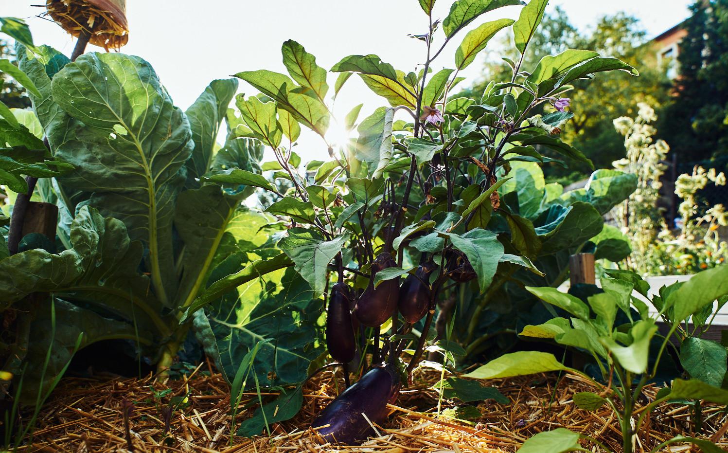 Aubergine Dschungel.jpg