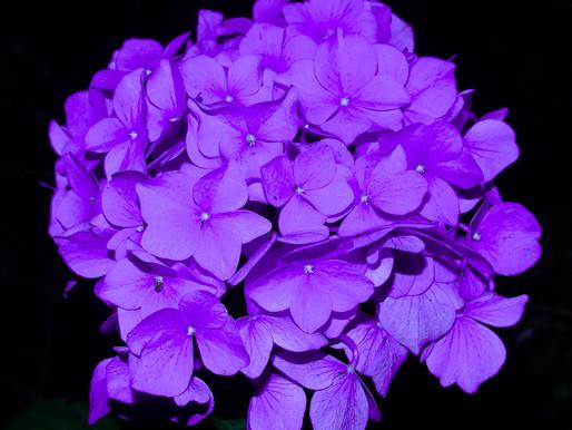 週末写真/紫陽花/Hydrangea