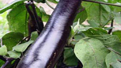 Kurume Long Japanese Eggplant