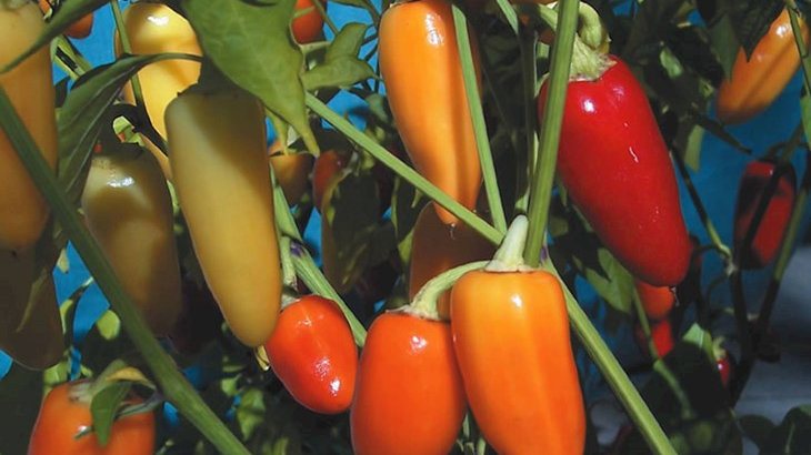 Wenk's Yellow Hot Pepper