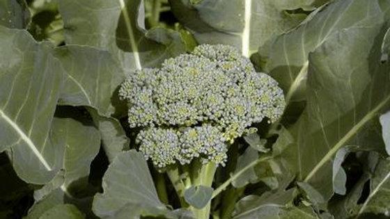 Broccoli - DiCicco (6 pack)