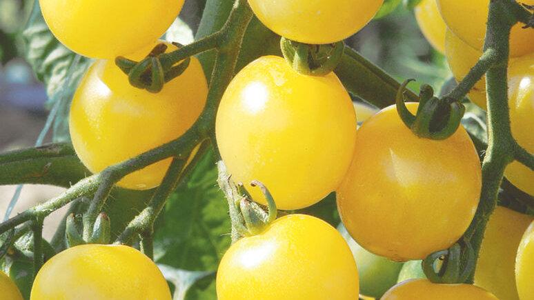 Yellow Melody Cherry Tomato