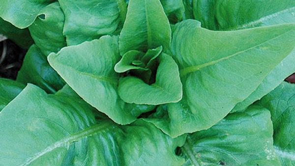 Lettuce - Amish Deer Tongue (6 Pack)