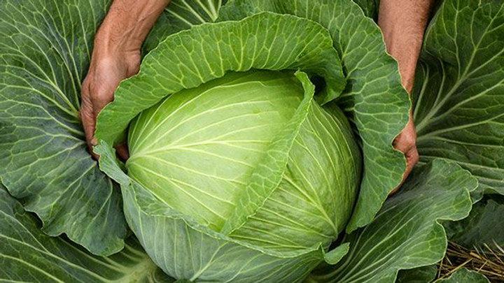Cabbage - Premium Late Flat Dutch (6 pack)
