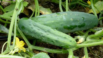 Marketmore Cucumber (4pack)