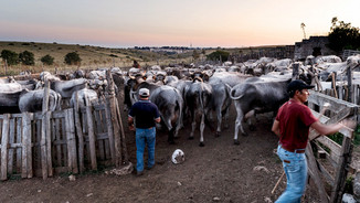 Shepherds in Basilicata make back their cows