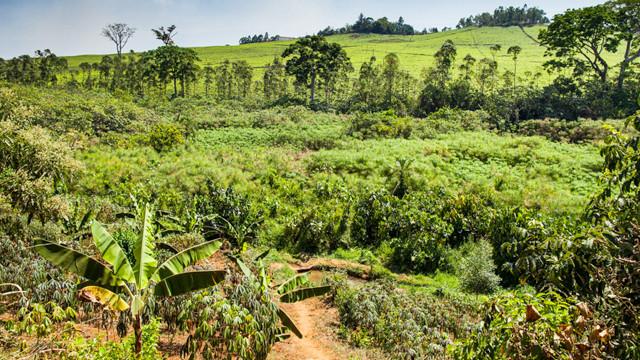 Papyrus crops and tea plantation
