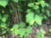Knotweed_Picture2.png