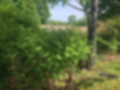 Knotweed_Picture1.png