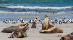 seals-on-kangaroo-island