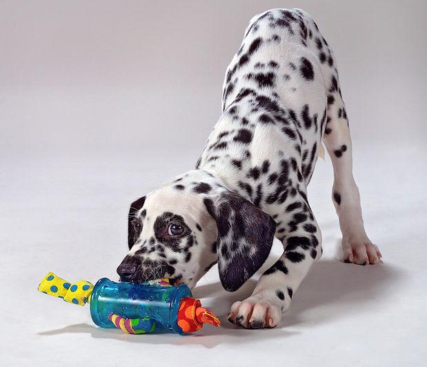 Dalmation Puppy.jpg
