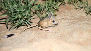 Animal of the Week: Jerboa