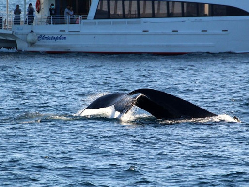Whale Watching with the Aquarium of the Pacific in Long Beach