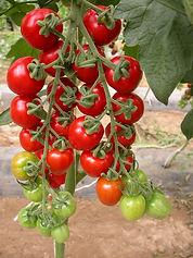 Tomate (7).JPG