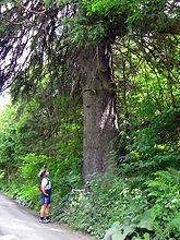 Älteste Fichte der Steiermark