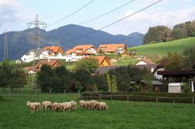 Trofaiach Laintal Schafe