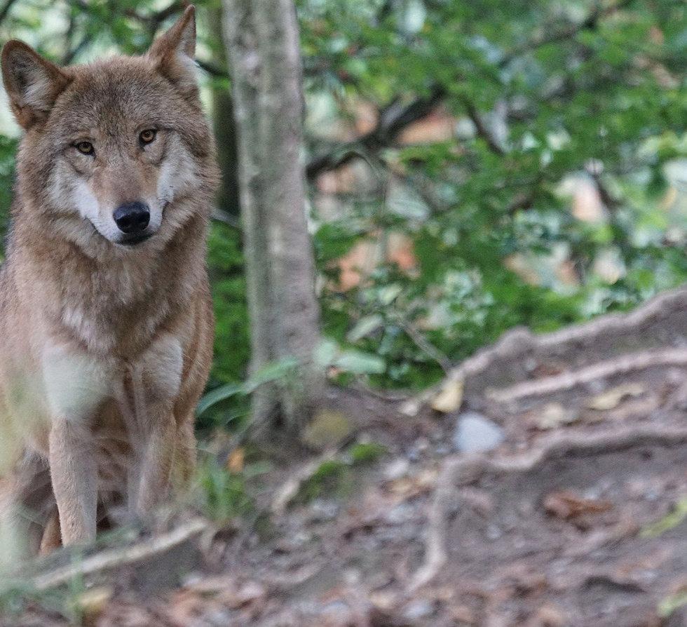 wolf-g00a1084c2_1920_edited_edited.jpg
