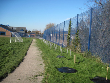 Young hedge protected