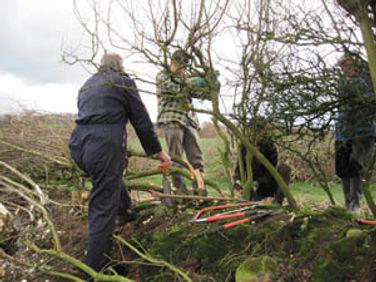 Hedge-laying