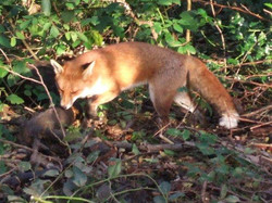 A vixen spotted at Great Wood