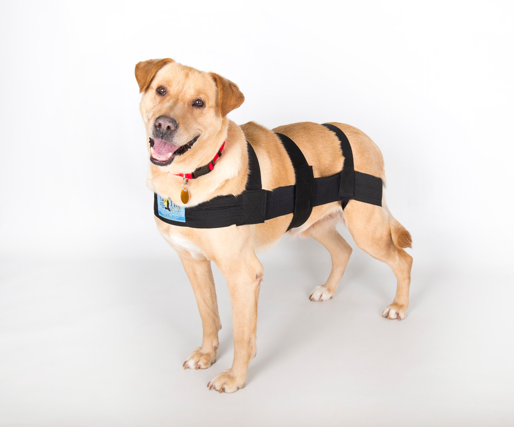 Once this process has been completed for your dog and you are happy with the fit, you shouldn't have to go through this entire process again.  Simply remove by unattaching the hind leg straps and only the last belly strap attachment.  The ProSix K9 will then slide up and over the dog.  It can than be put on again the same way.