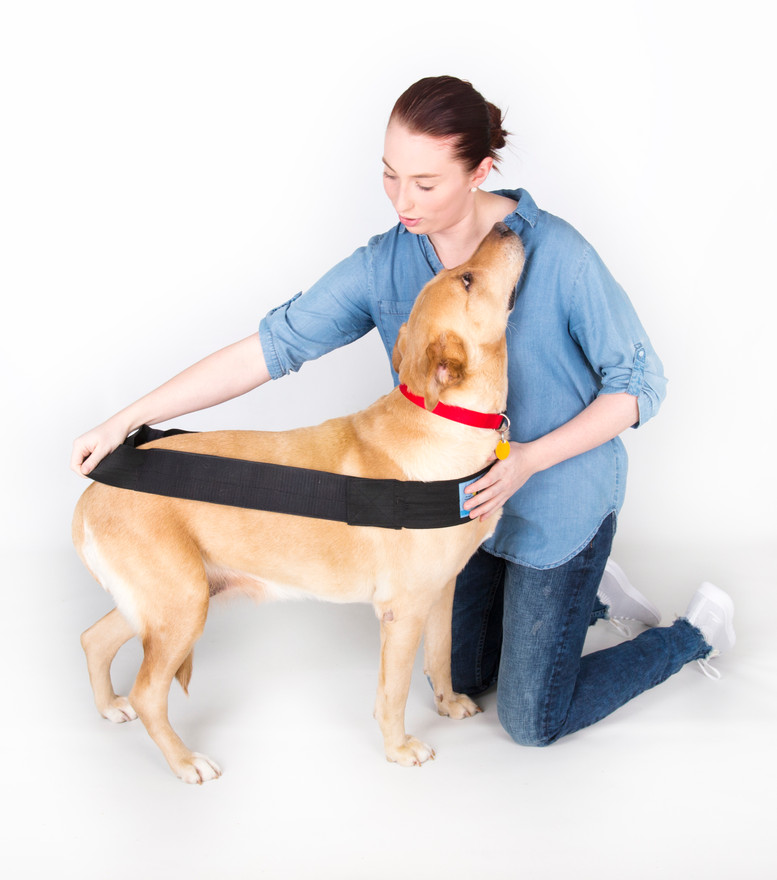Begin by placing the long body/chest strap around the dog. As seen above, this long body/chest strap loop should be in a straight line from across the chest to across the hind end at the widest part.