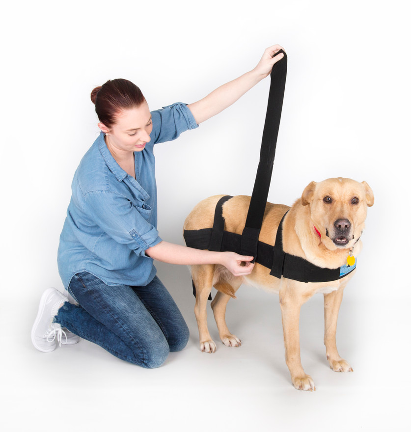 Now add the belly strap. The belly strap will fit around the dog where the belly starts to get narrower, toward the hind legs. The belly strap should fit over the last true ribs. Begin by attaching the soft loop of the belly band to the long body hook material on one side of the dog.  Now go over the dog's back down the opposite side and under the belly.