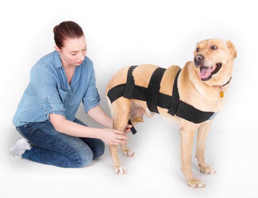 Next, find the hind leg straps sewn to the long body strap, under the dog's tail.  Pull each strap underneath the hind leg on that side, and bring it up to attach to the long body strap, in front of the hind leg as seen in the picture above.These straps may be crossed to attach on opposite side on female dogs.