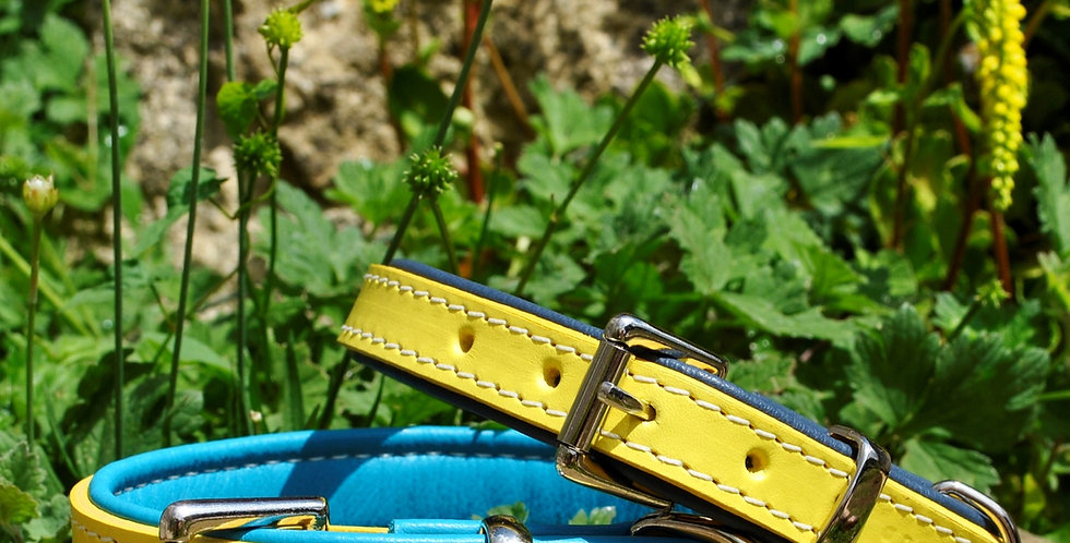 Padded Leather Buckle Collars:  'Sunshine Yellow'