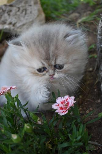 Roméo des Fleurs Fée-lyne