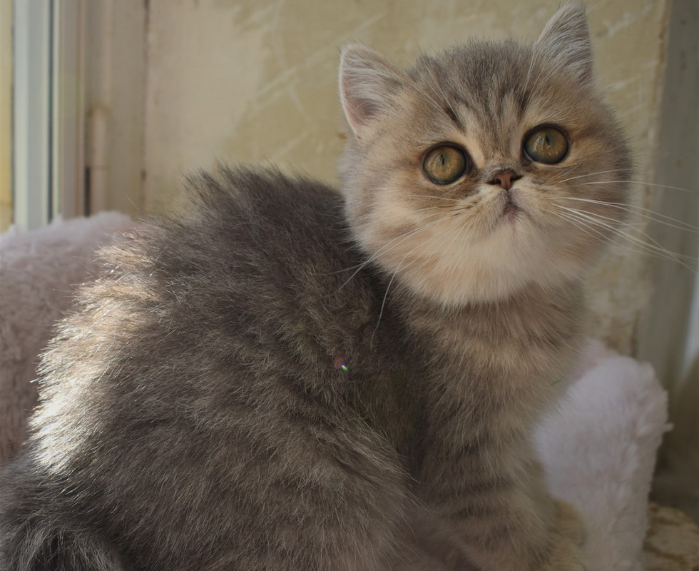 Exotic shorthair blue golden