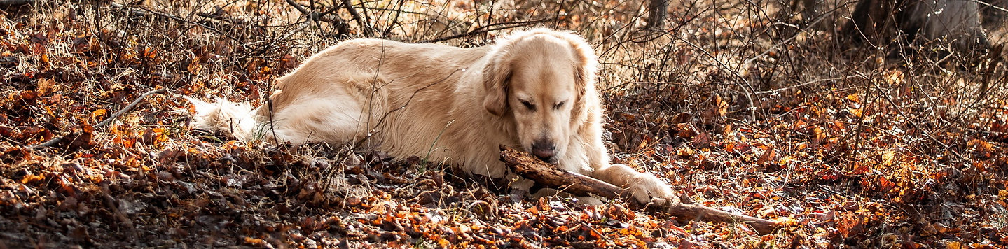 Golden_Retriever_wallpaper_034-1.jpg