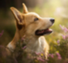 Welsh-Corgi-Wallpaperwelsh-corgi-wallpap