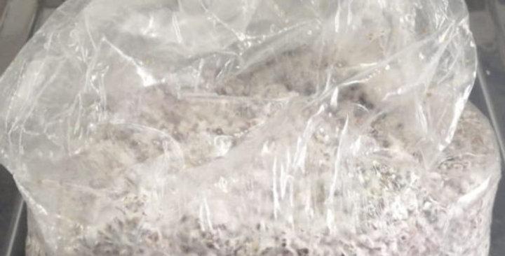 Engendro de Granos - Ostra Gris