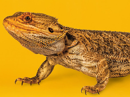Do bearded dragon's really have a 3rd eye? ... And other questions.